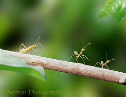 Green tree ants with mimic bug