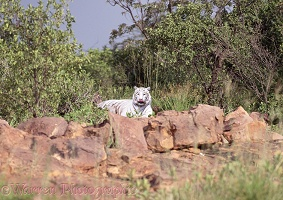 White Tiger in bush scene