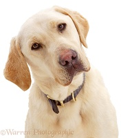Portrait of Yellow Labrador Retriever dog