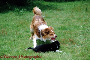 Dog snarling at a puppy