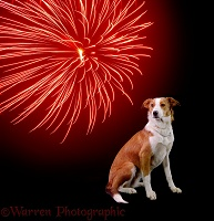 Border Collie and firework