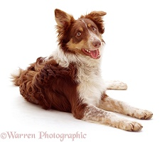 Red tricolour Border Collie