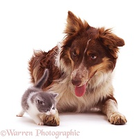 Red tricolour Border Collie with a kitten