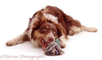 Red tricolour Border Collie with a toy