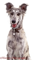 Blue brindled Lurcher