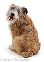 Cheeky terrier