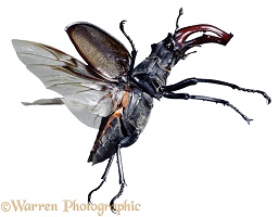 Stag Beetle in flight