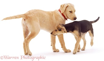 Retriever and Lurcher pups greeting