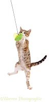 Cat catching a toy