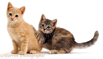 Two playful kittens