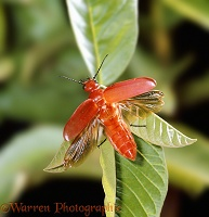 East African Cardinal Beetle taking off