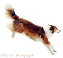 Border Collie leaping