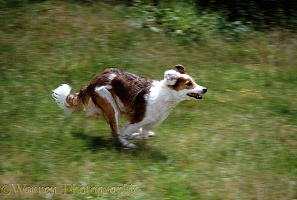 Border Collie bitch running
