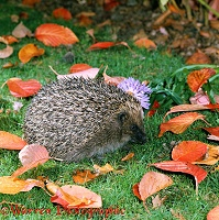 Hedgehog preparing to anoint