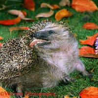 Hedgehog anointing