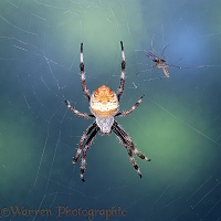 Spider in web with approaching mosquito