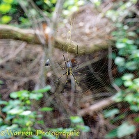 Golden orb spider with approaching fly