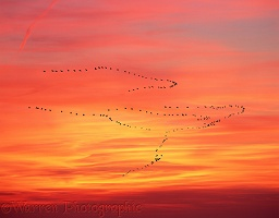 Pelicans migrating at sunset