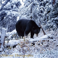 Black Bear in snowy subalpine forest