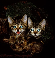 Kittens in a log at night