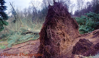 Fallen tree at Leith Hill landslide