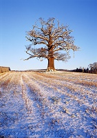 Ockley Oak - snow
