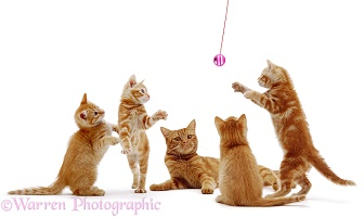 Ginger cat and kittens playing