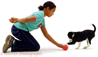 Girl training black-and-white Border Collie puppy