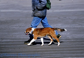 Border Collie dog walking to heel