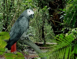 Grey Parrot in rainforest