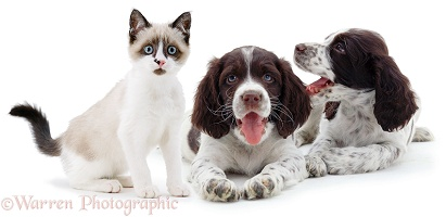 Two Spaniel pups & a Snowshoe kitten