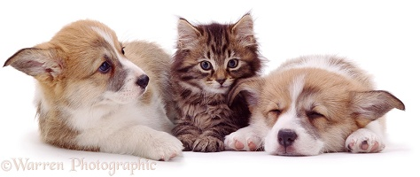 Two Corgi puppies and a kitten