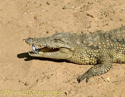 Crocodile with Egyptian Plover