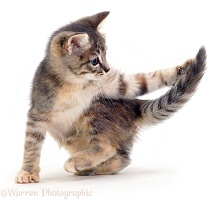 Grey kitten chasing its tail