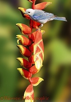 Blue-grey Tanager on Heliconia flower