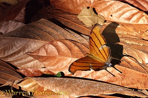 Ruddy Daggerwing on dead leaves