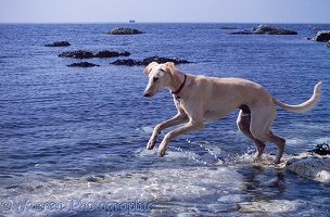 Saluki Lurcher in the sea