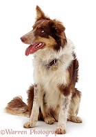 Red tricolour Border Collie sitting