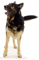 German shepherd barking