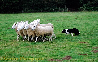 Border Collie, 9 months old, rounding sheep