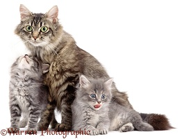 Fluffy Tabby with grey kittens