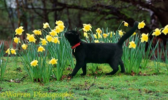 Black cat sniffing daffodils