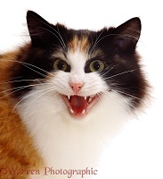 Calico cat meowing loudly