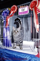 Silver tabby cat at show