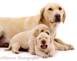 Yellow Labrador bitch and pups