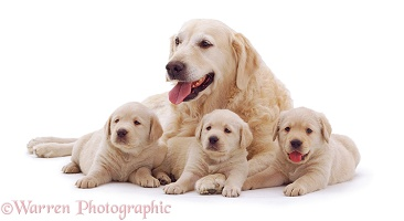 Golden Retriever mother and puppies