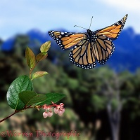 Monarch Butterfly taking off
