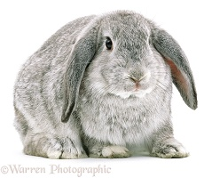 Chinchilla Lop rabbit