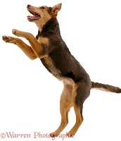 Lakeland Terrier x Border Collie leaping