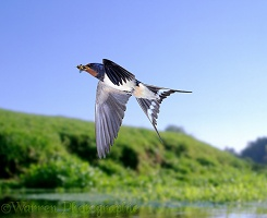 Swallow in flight over river
